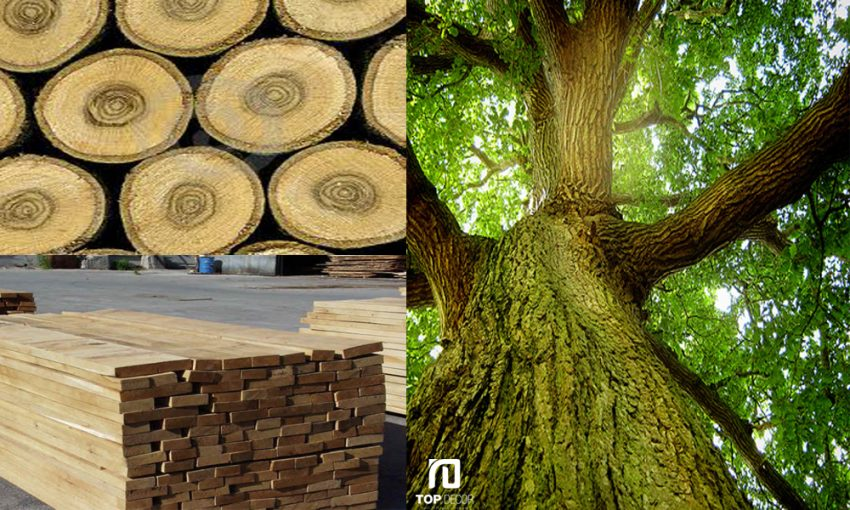 Các loại gỗ Sồi, ưu và nhược điểm