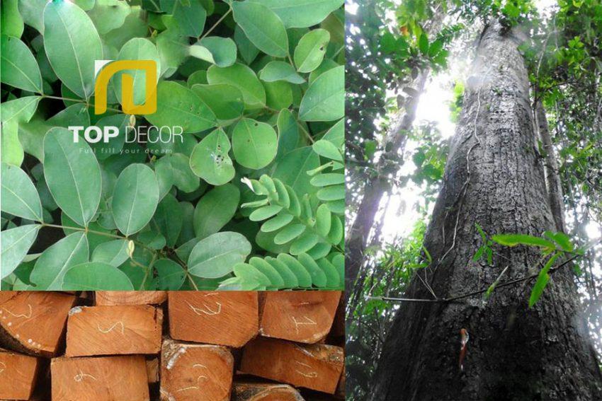 Tìm hiểu về cây gỗ gụ, ưu điểm và cách nhận biết