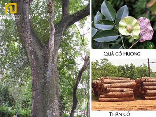 Gỗ Hương và ứng dụng gỗ Hương trong đồ gỗ nội thất