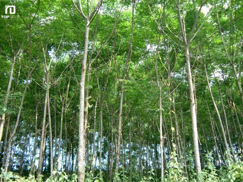 Nhận dạng gỗ xoan đào, ưu và nhược điểm