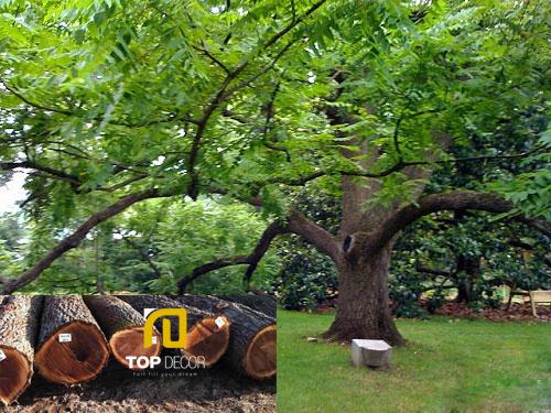Ưu điểm của gỗ óc chó và những điểm khác biệt